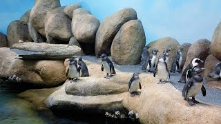 Download Live Penguin Cam (Colony View) | California Academy of Sciences Video