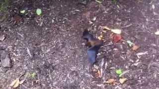 Download Rabid Bat Attacks Cat Video