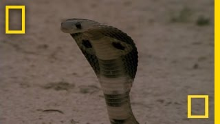 Download Cobra vs. Mongoose | National Geographic Video