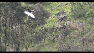 Download Eagle Kills Drone Video
