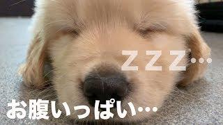 Download ご飯中に眠ってしまった子犬を再び眠らせました she sleep while eating Video