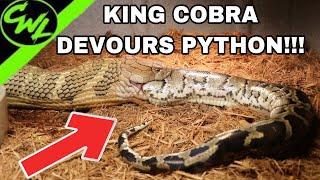 Download KING COBRA EATS FLORIDA PYTHON!!! Video