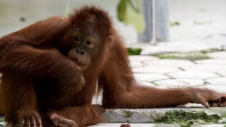 Download This Young Orangutan is Famous for Cutting Class Video