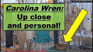 Download Carolina Wren: Up Close and Personal! Video