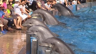 Download Dolphin Days (Full Show) at SeaWorld San Diego on 8/30/15 Video