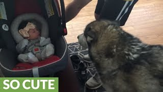 Download Alaskan Malamute meets newborn baby for the first time Video