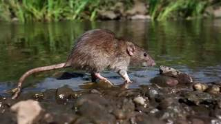 Download Mice living with humans: had an indelible impact on the ecology of the region. Video