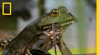 Download Bullfrogs Eat Everything   National Geographic Video