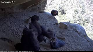 Download Male Condor Feeds Chick From Cliff's Edge! – Aug. 12, 2019 Video