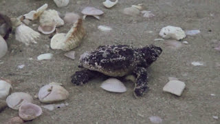Download Rescued Loggerhead Sea Turtle Hatchlings Being Released Video