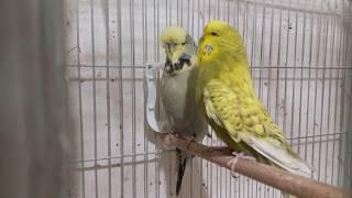 Download MUHABBET KUŞU GARANTİ YAVRU ALMA 2019 ″ayirma sistemi″ budgerigar Video