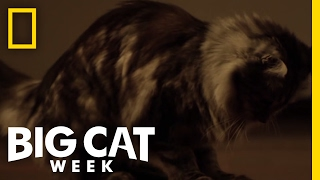 Download Cute Little Rat Killers   Big Cat Week Video