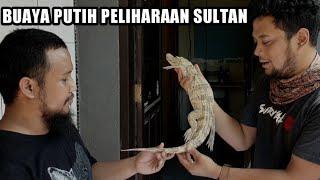 Download REVIEW BUAYA PUTIH DARI MAKASSAR/SULAWESI TRIP Video