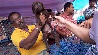 Download Chocolate Labrador Retriever Now At Galiff Street Kolkata l Price Rs 13000 Video