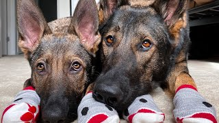 Download 25 Cute Sounds A German Shepherd Makes Video