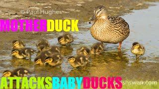 Download Mother duck attacks baby ducks Video