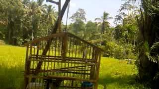 Download Mikat burung kacer Video