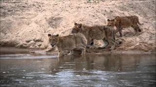 Download Three lion cubs from MalaMala Game Reserve cross the Sand River while a hungry crocodile lurks. Video