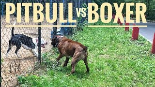 Download Pit bull vs Boxer dog attack Video