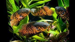 Download Narybek Pielęgnice Pawiookie Cichlid Breeder Oscar Fish Video