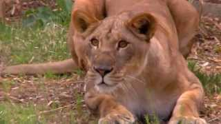 Download #LionLove - John and Imani Out Together - Cincinnati Zoo Video