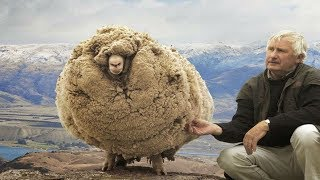 Download This sheep escaped For 6 Years when he returned Everyone was amazed Video