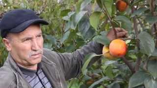 Download Trabzon Hurması Yetiştiriciliği Video