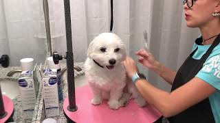 Download Maltese Mini Grooming at home for beginners Video