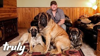 Download My Monster Mastiff Weighs 250lbs | TRULY Video