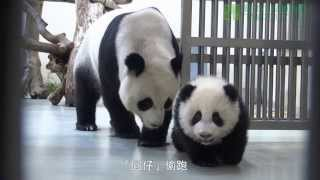Download 圓仔學媽媽 Giant Panda Cub Yuan Zai Learning From Her Mother Yuan Yuan Video