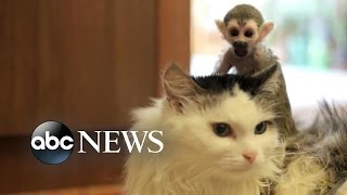 Download Cat Adopts Abandoned Baby Monkey Video