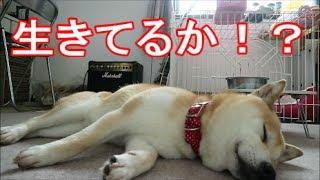 Download 柴犬小春 【骨抜き状態】散歩に疲れて横たわる柴犬【敏馬神社(みぬめじんじゃ)】 Video