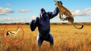 Download Hero Monkey Saving Gazelle From Leopard Hunting | Animals Rescue Other Animals Compilation Video