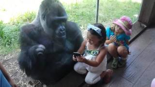 Download MUST SEE!!!!! SWEET GORILLA JELANI LOVES AND TELLS PEOPLE TO SWIPE TO NEXT PICTURE ON PHONE Video