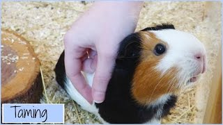 Download Guinea Pig Taming Stories Video