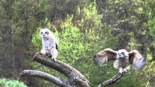 Download Young Great Horned Owls: mastering their flight skills Video