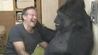 Download Koko the Gorilla Mourns Her Friend, Robin Williams Video