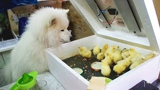Download Funny Dogs Meeting Cute Baby Animals [Funny Pets] Video