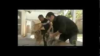 Download How to handle a Dog fight - Cesar Millan Video