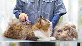 Download 長毛の大型猫がファーミネーターで冬毛を脱ぎ捨てる瞬間! Video
