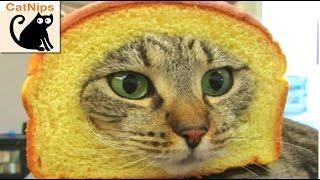 Download 100 Hilarious Cats! | CatNips Video