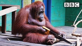 Download Orangutan saws a tree - Spy in the Wild: Episode 2 Preview - BBC One Video