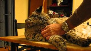 Download Wild bobcat in my house Video