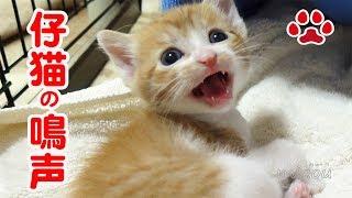 Download にゃんにゃー!仔猫まやの鳴声と猫達【瀬戸の猫部屋日記】Meow. Cats barking. Video