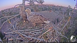 Download LDF Jūras ērglis tiešraide 1 / White-tailed eagle webcam 1 in Latvia Video