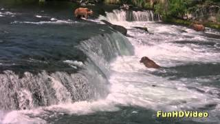 Download HD: Salmon Jumping and Grizzly Bears Fishing Video