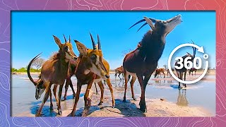 Download Sable Antelope at Waterhole | Wildlife in 360 VR Video