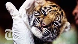 Download Trafficked Through Thailand: Cracking Down on Animal Smuggling   The New York Times Video