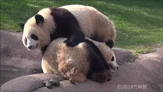 Download 【爆睡桜浜w🌸】🐼あえて踏んずけて行く桃浜w🍑【ふたごパンダ】Giant Panda -Touhin&Ouhin -☆ Video