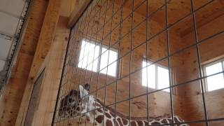 Download Welcoming Day for April the Giraffe Video